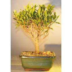 Ficus Retusa Bonsai Tree with Complete Starter Kit