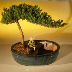 Medium Juniper Bonsai Tree and Water Bonsai Pot