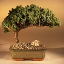 Juniper Bonsai Tree with Complete Starter Kit