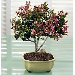 Indian Hawthorne Bonsai