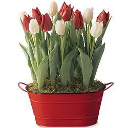 Red and White Tulip Bulb Mini Garden