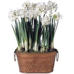 Paperwhites Bulb Garden