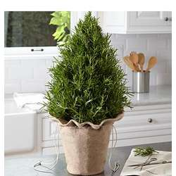 Rosemary Topiary Tree