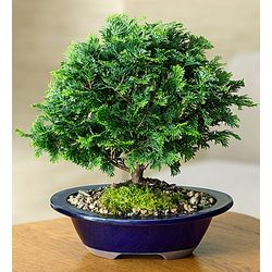 Dwarf Hinoki Cypress Bonsai