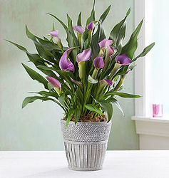 Lavender Calla Lily in Wooden Basket Planter