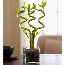 3 Stalk Curly Bamboo Plant
