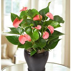Hearts Aflame Tropical Anthurium Plant