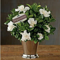 Pick Your Occasion Gardenia Plant in Julep Cup