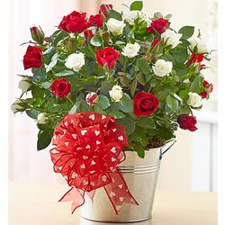 Valentine's Day Bi-Color Rose Plant in a Bucket