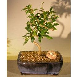 Flowering Fukien Tea Bonsai Tree with Coiled Trunk