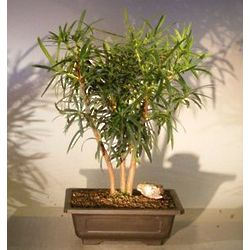 Flowering Podocarpus Bonsai Tree Forest Group