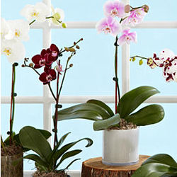 Orchid Grower's Choice