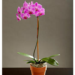 Single Stem Purple Orchid