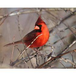 Cardinal at UW Arboretum Wildlife Photograph
