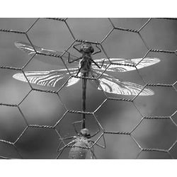 Dragonfly on the Wire Photographic Print