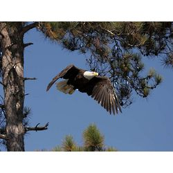Bald Eagle on Allequash Lake Wildlife Photography