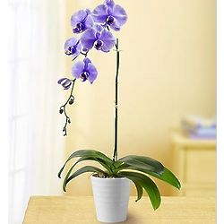 Lovely Lavender Orchid Plant