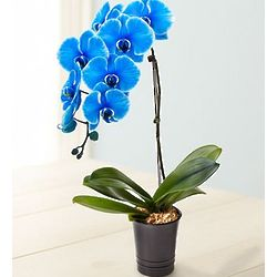 Exotic Blue Phalaenopsis Orchid Plant