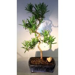 Podocarpus Bonsai Tree with Coiled Trunk