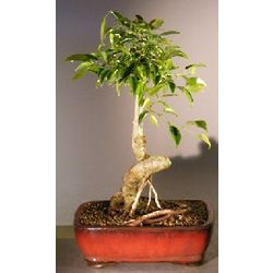 Oriental Ficus Bonsai Tree with Coiled Trunk and Banyan Roots