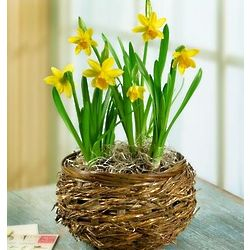 Delightful Daffodil Plant in Basket