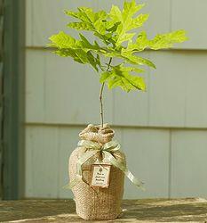 Medium Oak Tree