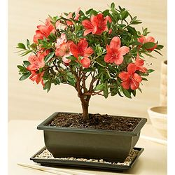Azalea Bonsai for Sympathy