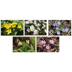 Spring Wildflowers of Wisconsin Photo Note Cards