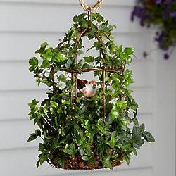 Birdcage Ivy Plant
