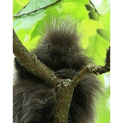 Curious Young Porcupine Wildlife Photo