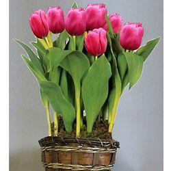 Pink Tulip Flower Bulb Gift Basket