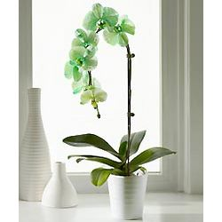 Lime Sorbet Orchid