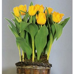 Yellow Tulip Flower Bulb Gift Basket