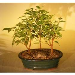 Large Variegated Ficus Bonsai Tree