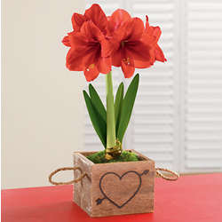 Red Lion Amaryllis Plant