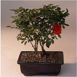 Flowering Mini Rose Tiny Red Bonsai Tree