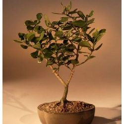 Flowering Tropical Dwarf Apple Bonsai Tree