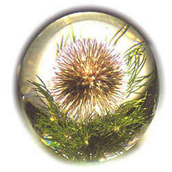Thistle in Large Globe Paperweight