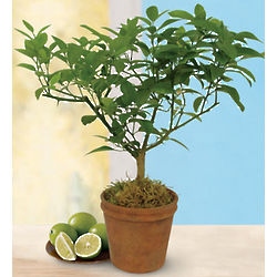 Miniature Key Lime Patio Tree