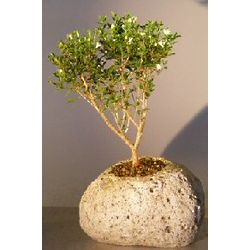 Chinese Flowering White Serissa in Lava Rock Pot