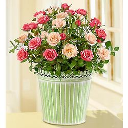 Summer Country Rose Bouquet Plant