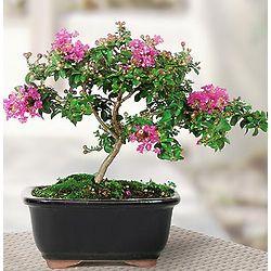 Pink Crepe Myrtle Ficus Bonsai