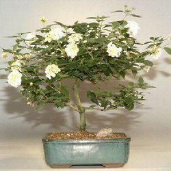 Lantana Bonsai Tree (Lantana Involucrata)
