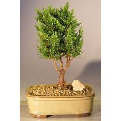 3 Year Old Small Shimpaku Bonsai Tree