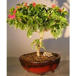 Bougainvillea Flowering Vine (Pink Pixie)