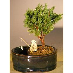 Small Shimpaku Bonsai Tree in Water and Land Container