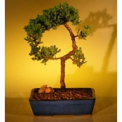 Curved Juniper Bonsai Tree
