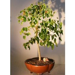Flowering Dwarf Everbearing Mulberry Bonsai Tree