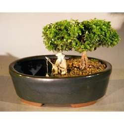 Japanese Kingsville Boxwood Bonsai in Water Pot