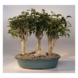 Oriental Ficus Three Tree Bonsai Forest